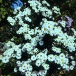 Glattblattaster Bonningdale White - Aster novi belgii