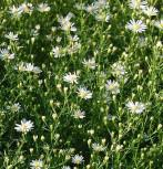Myrtenaster Monte Cassino - Aster pringlei