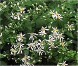 Großblattaster Albus - Aster macrophyllus - Vorschau