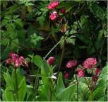 Rotblühende Sterndolde - Astrantia carniolica - Vorschau
