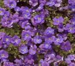 Blaukissen Kitty - Aubrieta cultorum - Vorschau
