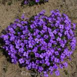 Blaukissen Blue Emperor - Aubrieta cultorum - Vorschau