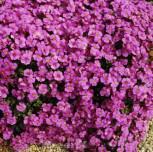 Blaukissen Cascade Purpur - Aubrieta cultorum - Vorschau