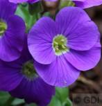 Blaukissen Kitte Purple - Aubrieta cultorum