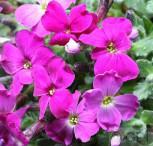 Blaukissen Kitte Rose Red - Aubrieta cultorum