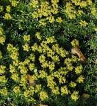 Andenpolster Minor - Azorella trifurcata