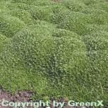 Andenpolster - Azorella trifurcata - Vorschau