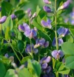 Australische Färberhülse Purple Smoke - Baptisia australis - Vorschau
