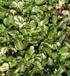 Butlaubiges Barbarakraut - Barbarea vulgaris
