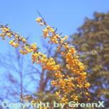 Schmalblättrige Berberitze 60-80cm - Berberis stenophylla