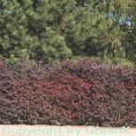 Rote Heckenbeberitze 40-60cm - Berberis thunbergii Atropurpurea