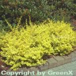 Gelbe Zwergbeberitze 15-20cm - Berberis thunbergii - Vorschau