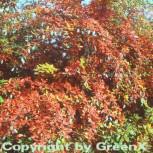 Warzen Berberitze 20-25cm - Berberis verruculosa