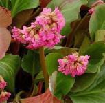 Bergenie David - Bergenia cordifolia