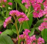 Bergenie Rote Schwester - Bergenia cordifolia