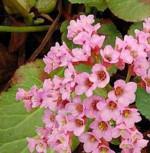 Bergenie Vorfrühling - Bergenia cordifolia