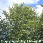 Gelb Birke 125-150cm - Betula alleghaniensis - Vorschau