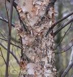 Schwarz Birke Heritag 125-150cm - Betula nigra - Vorschau
