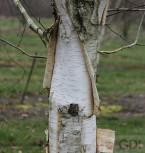 Weißrindige Himalaja-Birke Doorenbos 125-150cm - Betula utilis - Vorschau