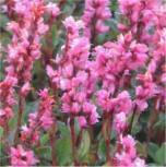 Kerzenknöterich Roseum - Bistorta amplexicaule