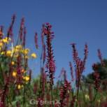 Kerzenknöterich Firetail - Bistorta amplexicaulis