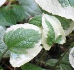 Kaukasus Vergißmeinnicht Hadspen Cream - Brunnera macrophylla - Vorschau