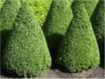 Buchsbaum Kegel 40-50cm - Buxus Kegel