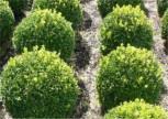 Buchsbaum Kugel 25-30cm - Buxus Kugel - Vorschau