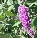 Schmetterlingsstrauch Pink Purple 30-40cm - Buddleja - Vorschau