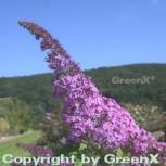 Schmetterlingsflieder Reve de Papillon 40-60cm - Buddleja - Vorschau