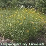 Ochsenauge - Buphthalmum salicifolium - Vorschau