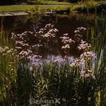 Blumenbinse Schneeweißchen - Butomus umbellatus - Vorschau
