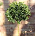 Hochstamm Buchsbaum 60-80cm - Buxus sempervierens - Vorschau