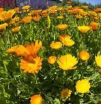 Ringelblume - Calendula officinalis - Vorschau
