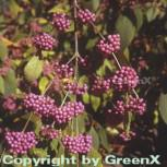 Liebesperlenstrauch Schönfrucht Profusion 60-80cm - Callicarpa bodinieri - Vorschau