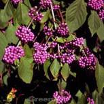 Liebesperlenstrauch Schönfrucht Girald 60-80cm - Callicarpa bodinieri giraldii - Vorschau