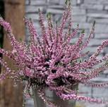 10x Besenheide Annabel - Calluna vulgaris
