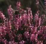 10x Besenheide Con Brio - Calluna vulgaris