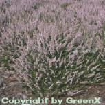 10x Besenheide Elsie Purnell - Calluna vulgaris