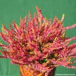 10x Knospenheide Gardengirls Bonita - Calluna vulgaris