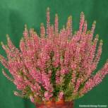 10x Knospenheide Gardengirls Liliane - Calluna vulgaris