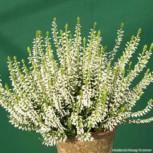 10x Knospenheide Gardengirls Melanie - Calluna vulgaris