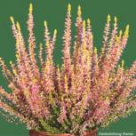 10x Knospenheide Gardengirls Tessa - Calluna vulgaris