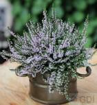 10x Besenheide Radnor - Calluna vulgaris