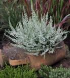 10x Besenheide Velvet Fascination - Calluna vulgaris - Vorschau
