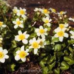 Garten Dotterblume - Caltha leptosepala - Vorschau