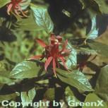 Gewürzstrauch 100-125cm - Calycanthus floridus