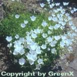 Karpaten Glockenblume Weiße Clips - Campanula carpatica - Vorschau