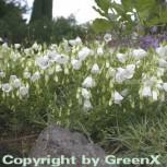 Zwergglockenblume Alba - Campanula cochleariifoli