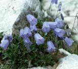 Zwergglockenblume Blue Baby - Campanula cochleariifolia